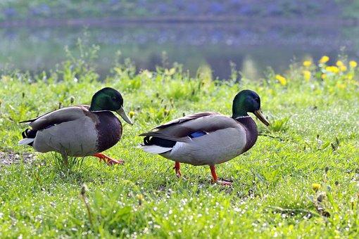 Ducks, Wandering, Crossword, Birds, Go, Jib, Spacer