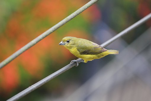 Bird, Looking At, Yellow