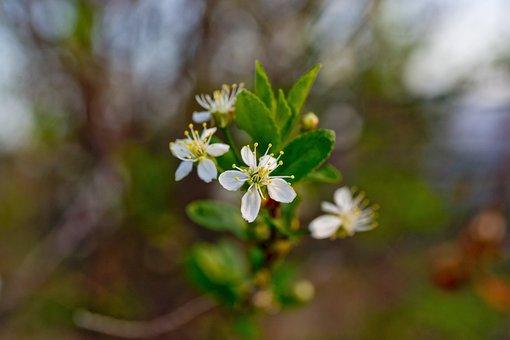 Flowers, Bloom, Cherry, Closeup, Macro Photography