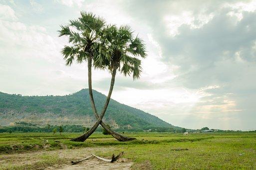Tree, Palm Trees, Jaggery Tree, Plant, Natural