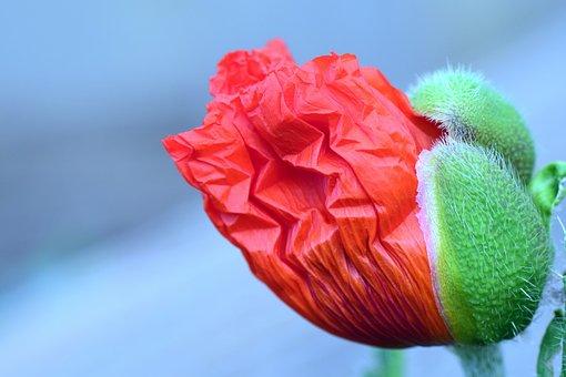 Poppy, Blossom, Bloom, Poppy Flower, Bud, Poppy Bud