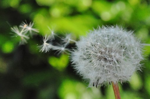 Dandelion, Seed, Blowing, Wind, Nature, Flower, Summer