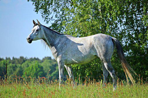 Mold, Horse, Thoroughbred Arabian, Pasture, Coupling