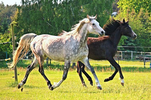 Horse, Mold, Trot, Flock, Thoroughbred Arabian, Pasture