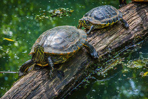 Turtle, Water Turtle, Armored, Reptile, Panzer