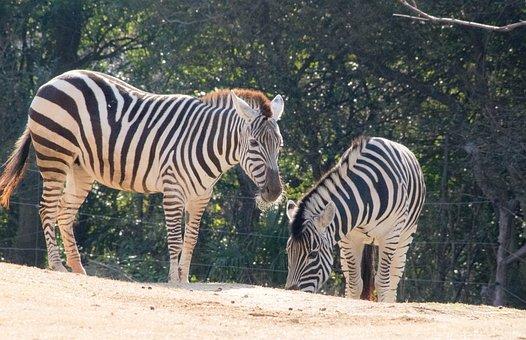 Zebra, Animal, Zoo