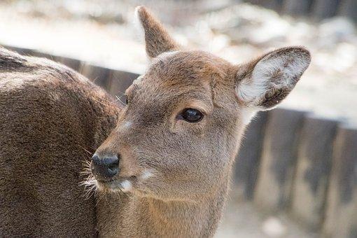 Deer, Animal, Zoo, Japan, Fawn