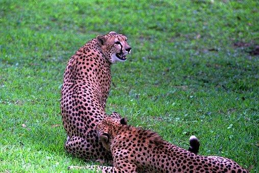 Africa, Animal, Big, Branch, Carnivore, Carnivorous