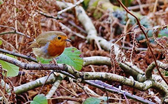 Robin, Bird, Animal, Nature, Wildlife, Red, Wild, Cute