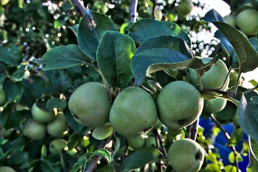 Apple, Apple Tree, Sheet, Tree, Summer