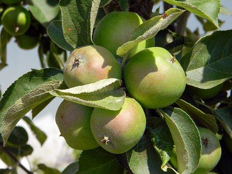 Apple Tree, Apples, Harvest, Fruit, Tree, Summer, Apple