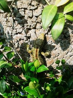 Sand Lizard, Lizard, Green, Brown, Male, Nature