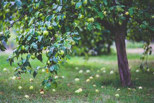 Apple, Tree, Apples, Young, Little, On The Tree, Green