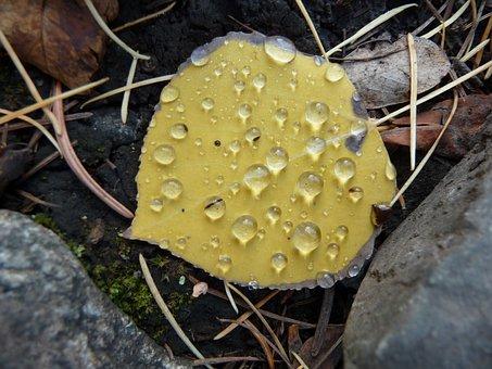 Aspen Leaf, Dew, Fall, Yellow