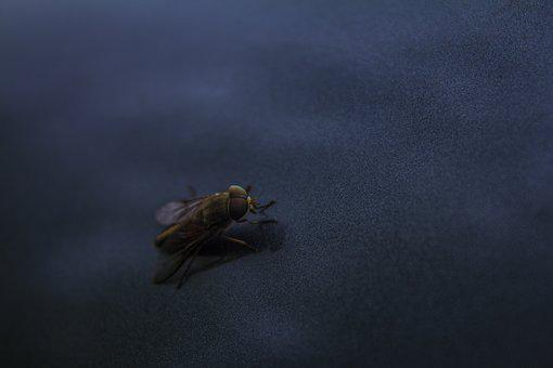 Fly, Macro, Insect, Nature, Bug, Outdoor, Close, Small