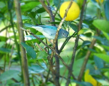 Celestino, Bird, Light-blue, Clinging, Branch, Blue