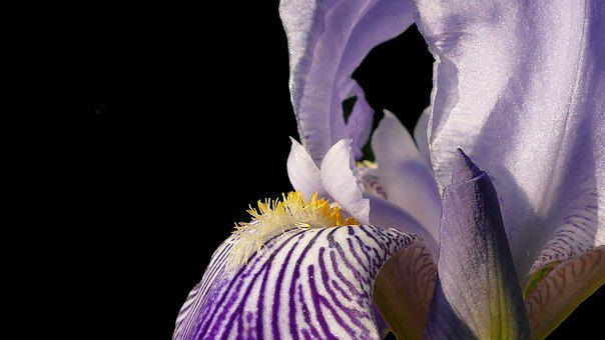 Iris, Blossom, Bloom, Blue, Flower, Nature, Plant