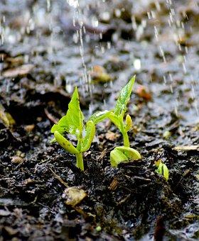 Plug, Bean, Green, Garden, Casting, Water The Plants