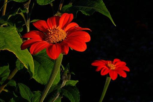 Flower, Autumn Flower, Red, Autumn, Garden Plant