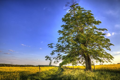 Nature, Tree, Landscape, Oilseed Rape