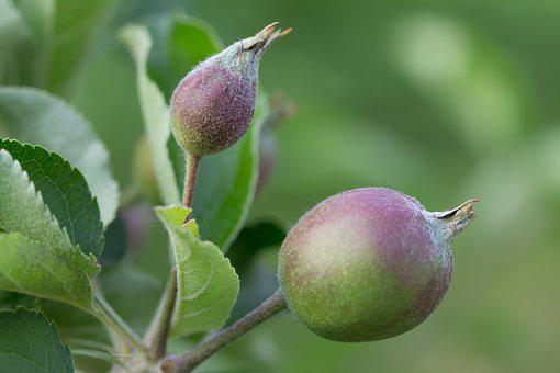 Apple, Immature, Room, Bio, Macro, Access, Plant