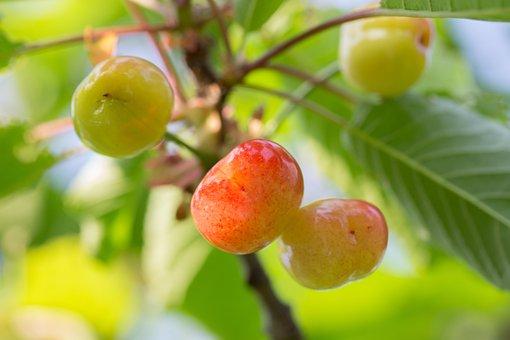 Cherry, Access, Fruit, Sunshine, Garden, Nature, Plant