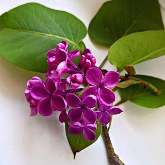 Lilac, Flowering Twig, Purple Flowers, Blossomed