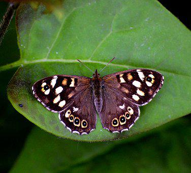 Scottish Speckled Wood, Speckled Wood Butterfly