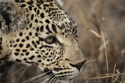 Leopard, South Africa, Safari, Cat