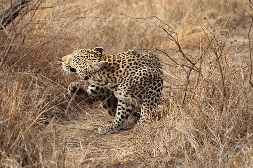 Leopard, South Africa, Safari, Cat, Kruger