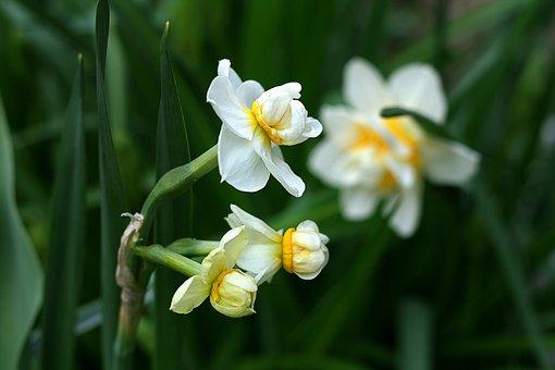 Daffodil, Spring, Nature, Garden, Blossom, Floral