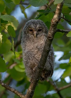 Owl, Tawny Owl, Kattugle, Bird, Animals