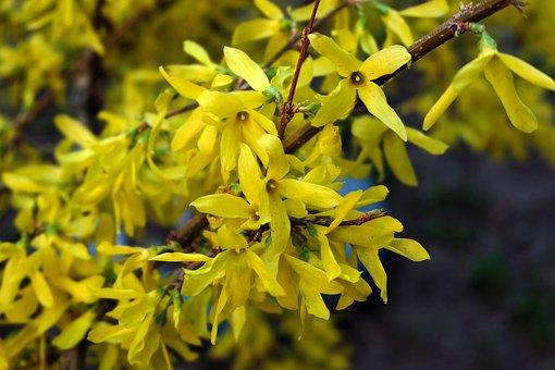 Yellow Bush, Krupnyj Plan, Flower, Yellow