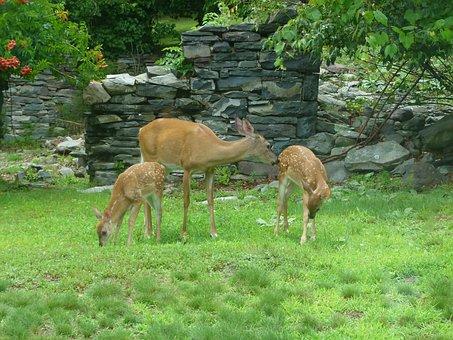 Deer, Fawn, White Tailed Deer, Animal, White-tail, Wild