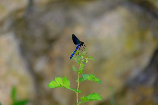 Dragonfly, Blue Dragonfly, Insect, Nature, Blue, Close
