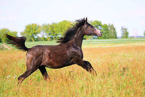 Horse, Yearling, Brown Mold, Thoroughbred Arabian