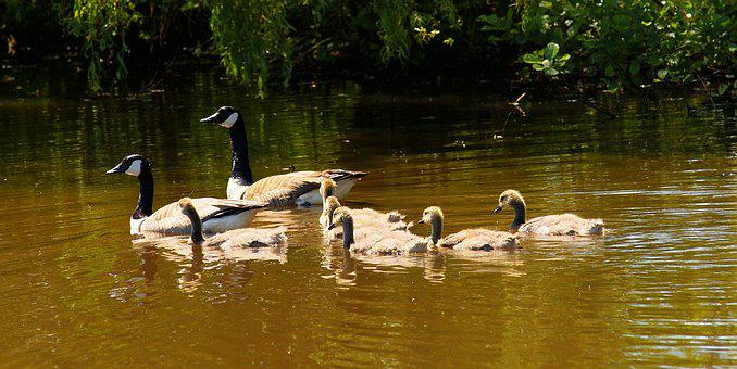 Geese, Canada Geese, Family, Early Summer, Young, Lake