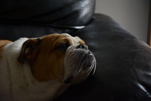 Dog, Pet, Bitch, Canine