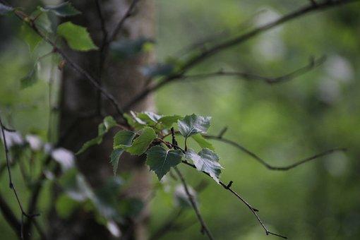 Leaf, Birch, Nature, Leaves, Tree, Green, Bark, Airy