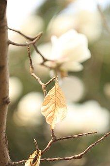 Magnolia Flower, White, Flower