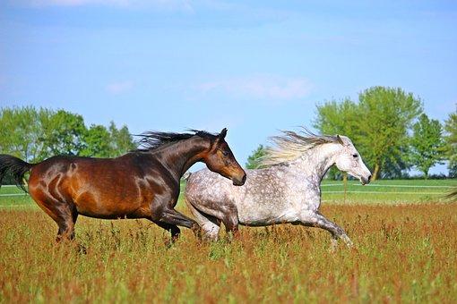 Horse, Flock, Mold, Brown, Thoroughbred Arabian