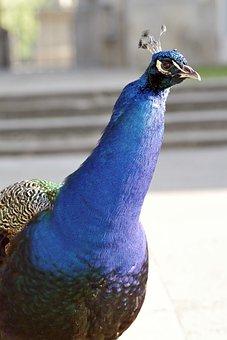 Peacock, Bird, Park Tail, Peacock Eye, Tom, Pen, Nature
