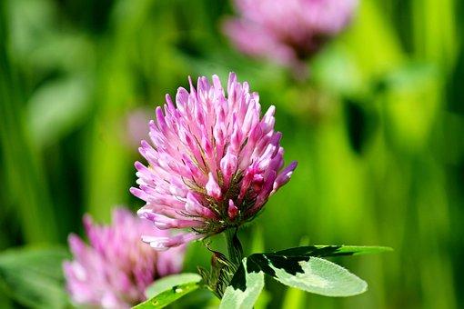 Klee, Blossom, Bloom, Bloom, Purple, Nature