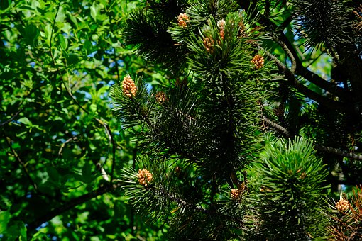 Spruce, Conifer, Forest, Nature, Tree, Brown, Green