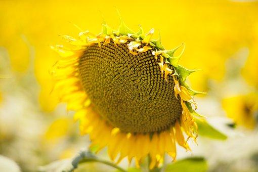 Yellow, Flower, Sunflower, Yellow Flower, Nature