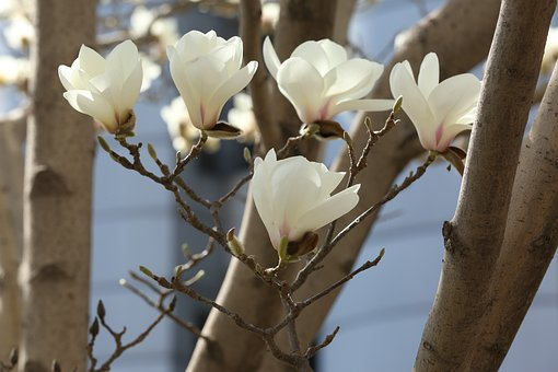 Magnolia, White, Flower