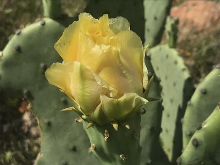 Cactus, Flower, Bloom, Prickly Pear, Yellow, Sunny