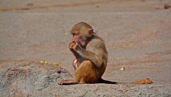 Baboon, Monkey, Primate, Creature, Eat, Food