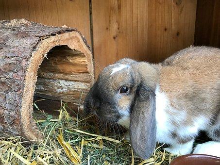 Hare, Dwarf Bunny, Rabbit, Floppy Ear, Pet, Spoon, Cute