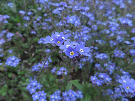 Forget Mein Not, Plant, Blue Flower, Flowers, Blue